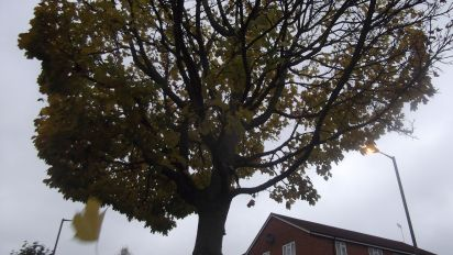 An Autumnal Tree in Leaf-fall